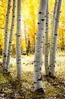 A New Stand of Aspens - Dixie NF
